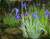 Iris Laevigata Variegata <br> Our Favorite Variegated Iris <br>