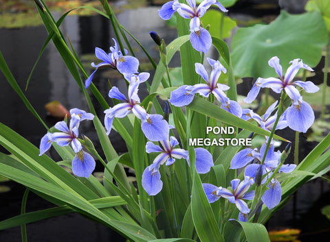 Blue Flag Iris <br> Native Pond Plant <br> Plants Available Spring 2021