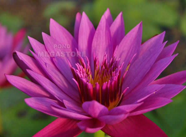 Jack Wood Waterlily <br> Medium-Large, Day Bloomer <br> Available late May 2020