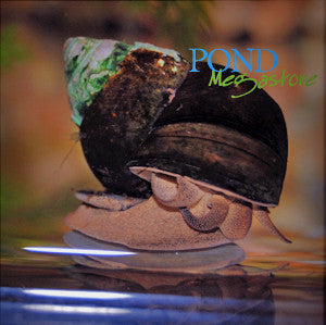 Japanese Trapdoor Pond Snails <br>Small Quantity <br>