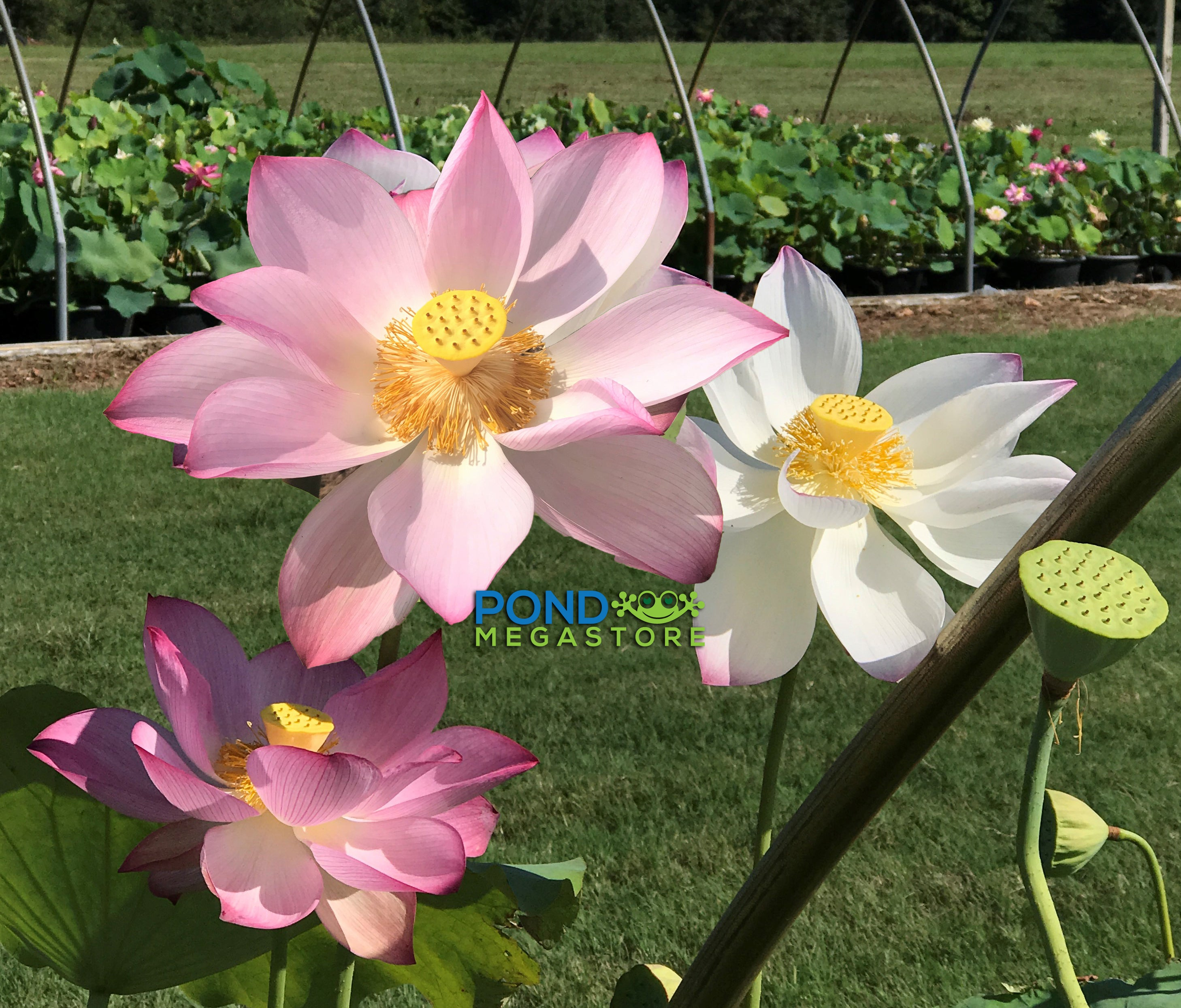 Jianxuan 17 Lotus Top Seed Producer Edible Lotus Pondmegastore