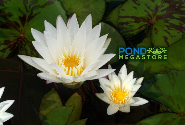Josephine Water Lily<br> Day blooming <br> Small-Medium Water Lily