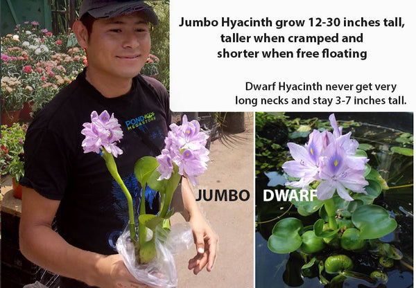 Jumbo Water Hyacinths (Eichornia Crassipes) <br> Tall form, grows 12-30 inches tall