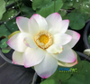 Ken's Dream Lotus  <br>Tall  <br>  A Resplendent Lotus! <BR> Reserve Sacred Lotus in OCTOBER for spring 2021!
