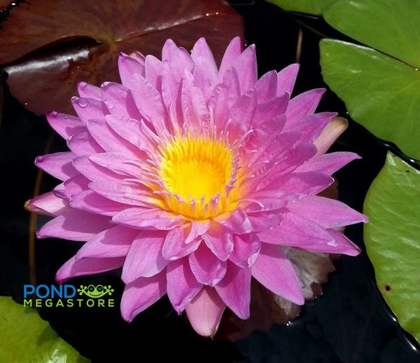 L'Amore Waterlily  <br>   (Tropical Day Blooming Waterlily) <BR>