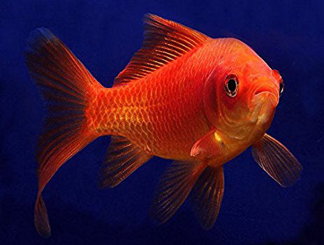 Common Goldfish (5 inch) <br> (Carassius Auratus) <br> <br> Fish Available Spring 2021