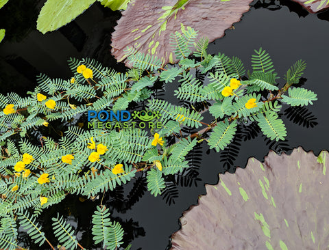 Botswana Wonder (Aeschynomene Fluitans) <br> Our Favorite Floating Plant !