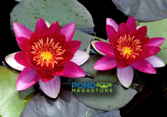 Laydekeri Fulgens Water Lily  <br> Small-Medium Hardy Water Lily <br> Plants Available Spring 2021