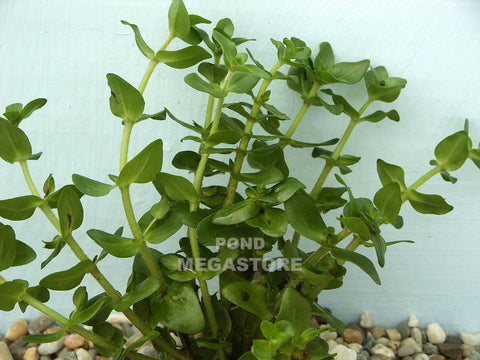 Lemon Bacopa (Bacopa Caroliniana) <br> Sold by the bunch 6-8 stems each <br> Grows submerged or emerging/shallow
