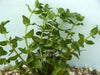 Lemon Bacopa (Bacopa Caroliniana)<br> (Minimum 5)