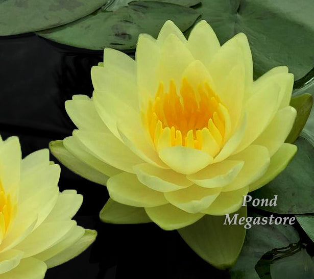Small Dwarf Buy Nymphaea Dwarf Water Lily Pondmegastore
