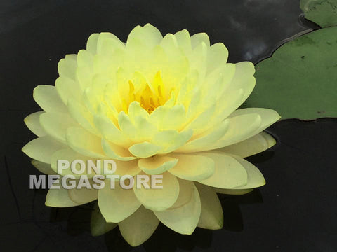 Lemon Meringue Waterlily