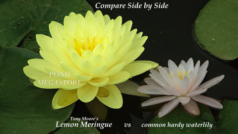 Lemon Meringue Waterlily <br> Early bloomer and blooms til fall!