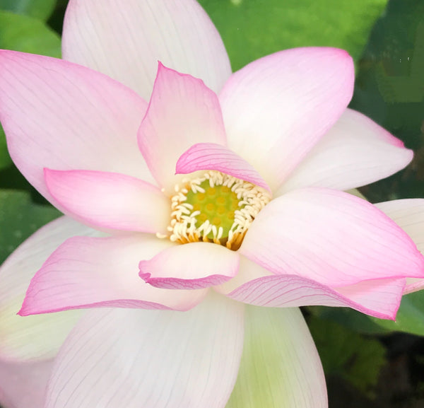 Light of Yaochi Lotus  <br>  Medium  <br>  Radiant blooms! <BR> Reserve Sacred Lotus in OCTOBER for spring 2021!