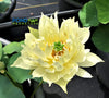 Like Yellow Antelope Lotus   <br>   Si huanglingyang