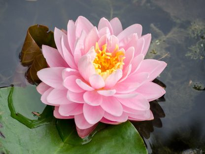 Lily Pons Hardy Waterlily  <br>  Large  <br> Shy-Bloomer