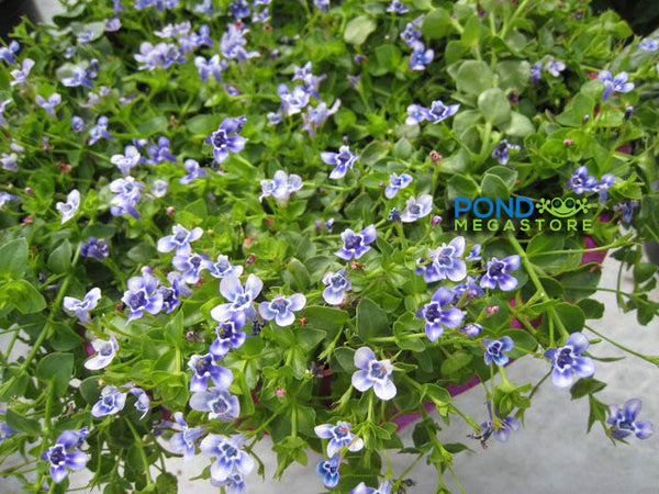 Blue Moneywort <br> (Lindernia Grandiflora) <br> Great for creeks & streams<br> Plants Available Spring 2021