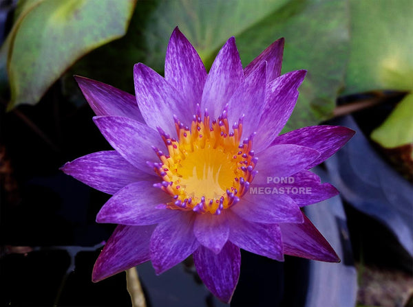 Lindsey Woods Water Lily <br> Day blooming <br> Medium-Large Water Lily <br> Call for Availability until spring 2020