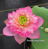 Little Dancing Empress Lotus <br>  Dwarf  <br>  Top 20 Lotus! <br> Charming beauty! <BR>
