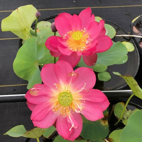Little Longevity Star Lotus  <br> Dwarf Size Lotus <br> Brilliant-Red Blooms! <BR> Reserve Sacred Lotus in OCTOBER for spring 2021!