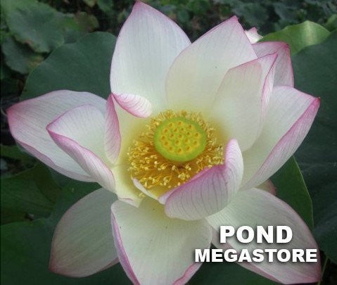 American Three Color Lotus  <br>   Dwarf/Small   <br>    Heavy Bloomer!  <BR> Reserve Now for Spring 2020 Delivery!