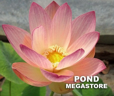 Beautiful Dancer Lotus  <br> Heavy Bloomer! Early Bloomer!
