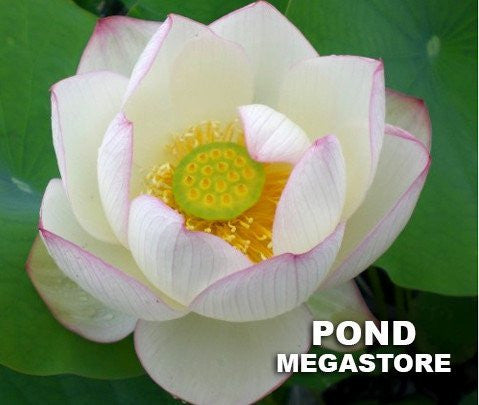 Chawan Basu Lotus  <br>   Dwarf-Medium   <br> One of the oldest Lotus in the USA  <BR>   SOLD OUT FOR 2020