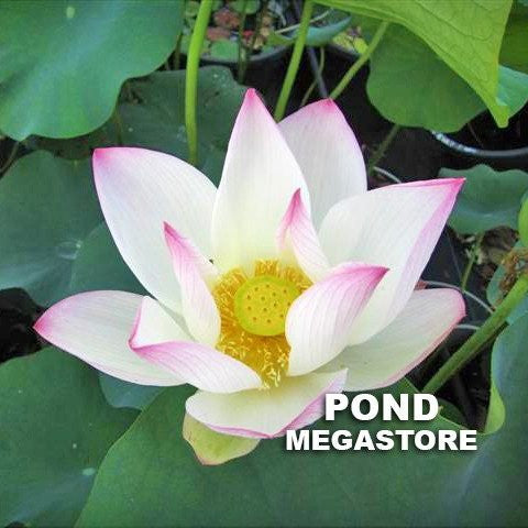 Cranberry Kiss Lotus <br> Tall <br> Heavy Bloomer, Early Bloomer!  <BR>RESERVE SACRED LOTUS in TODAY for spring 2021!