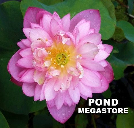 Glistens with Dew Lotus <br> Dwarf-Medium <br> Exquisite Flowers! <BR>RESERVE SACRED LOTUS in TODAY for spring 2021      LP4