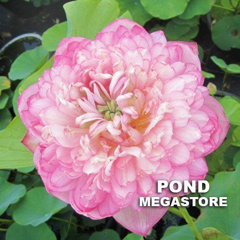 Duplicate Pink Lotus <br> Tall <br> Heavenly, Large Blooms! <BR>RESERVE SACRED LOTUS in TODAY for spring 2021!