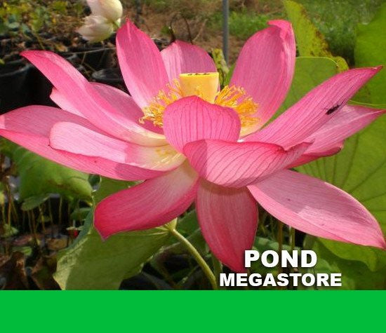 East Lake Pink Lotus