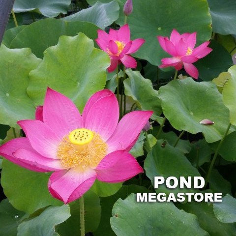 Friend Red Lotus  <br>  Medium  <br>  Heavy Bloomer! <BR> Reserve Now for Spring 2020 Delivery!