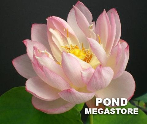 Glowing Clouds In Evening Lotus   (Ye Xia)  <br>  Dwarf  <br>  Lush, creamy-pink blooms! <BR>