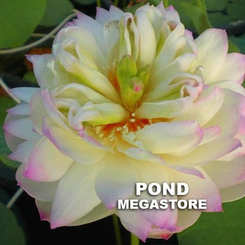 Green In Pink Layers Lotus  (Fen Ceng Tuo Cui)  <br>  Dwarf   <br>  Full, cup shaped blooms! <BR> Reserve Now for Spring 2020 Delivery!