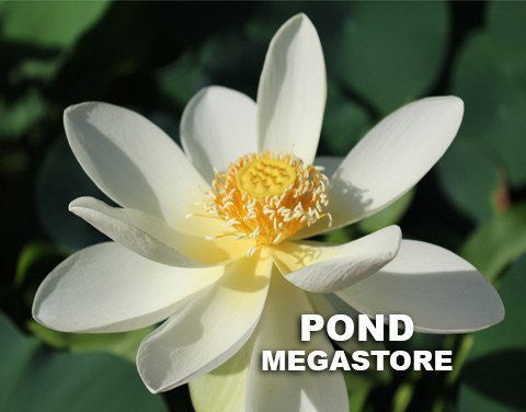 High Noon Lotus <br>  Very Heavy Bloomer! <br> Small