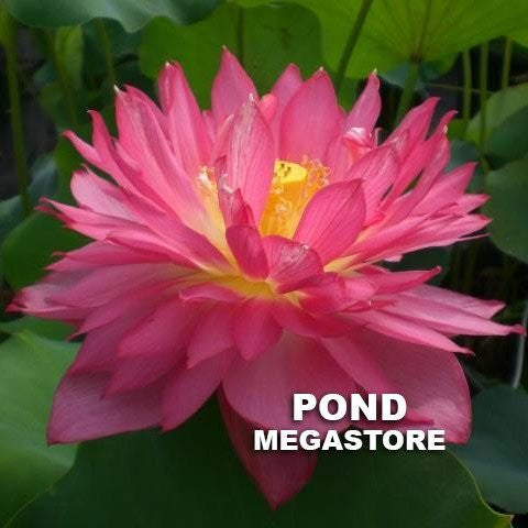 Long Petal Peach Red Lotus  <br>  Medium  <br>  Scrumptious Blooms! <BR> Reserve Sacred Lotus in OCTOBER for spring 2021!