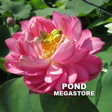Peach With Raindrops Lotus