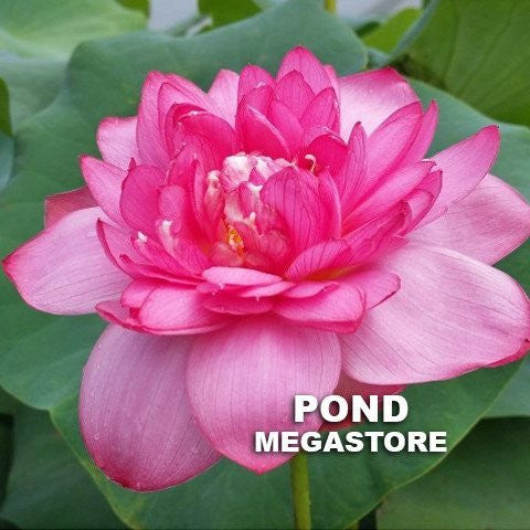 Red River Lotus   (Manjuanghong 15)  <br>  Delectable, color-drenched blooms! <BR>