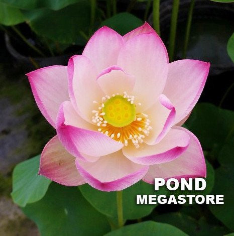 Sing Birdie Sing Lotus <br>  Bowl-Dwarf  <br> Heavy Bloomer! Early Bloomer! <BR> Reserve Now for Spring 2020 Delivery!