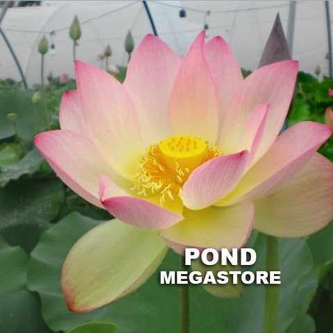 Space Lotus 36 <br> Large,Tall   <br>  Edible tubers & many seeds! <BR> Reserve Sacred Lotus in OCTOBER for spring 2021!