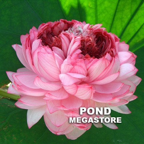 Thousand Petals Lotus (Qianban Lian) <br> Large/Tall <br> Stunning, multi-petal blooms! <BR> Reserve Now for Spring 2020 Delivery!