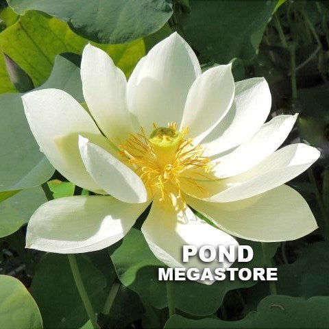 White Crane Lotus<br>Dwarf <br> Classic, white, single-petal lotus <BR>RESERVE TODAY for spring 2021!