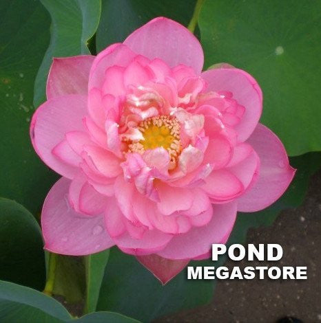 Yangzhou Bowl Lotus (Yangzhou Wanlian)  <br>  Medium  <br>  Pink, bowl-shaped blooms! <BR> Reserve Now for Spring 2020 Delivery!