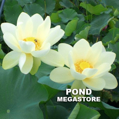 Tall lotus plants are the largest flowering and most tall lotus plants are the largest flowering and most pondmegastore waterlilies pond plants lotus mightylinksfo