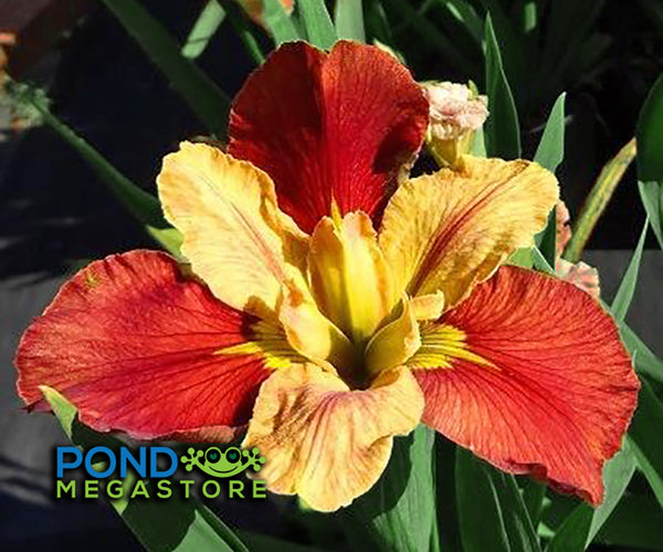 Window Shopping Louisiana Iris <br> Orange, good bloomer!