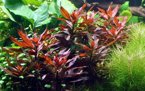 Red Diamond Ludwigia peruensis-gladulosa<br> Oxygenating Pond Plants <br> Cleans & Filters Water! <br>Temporarily out of stock