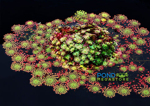 Mosaic Plant (Ludwigia sedioides) <br><Br> Very Warm weather required!
