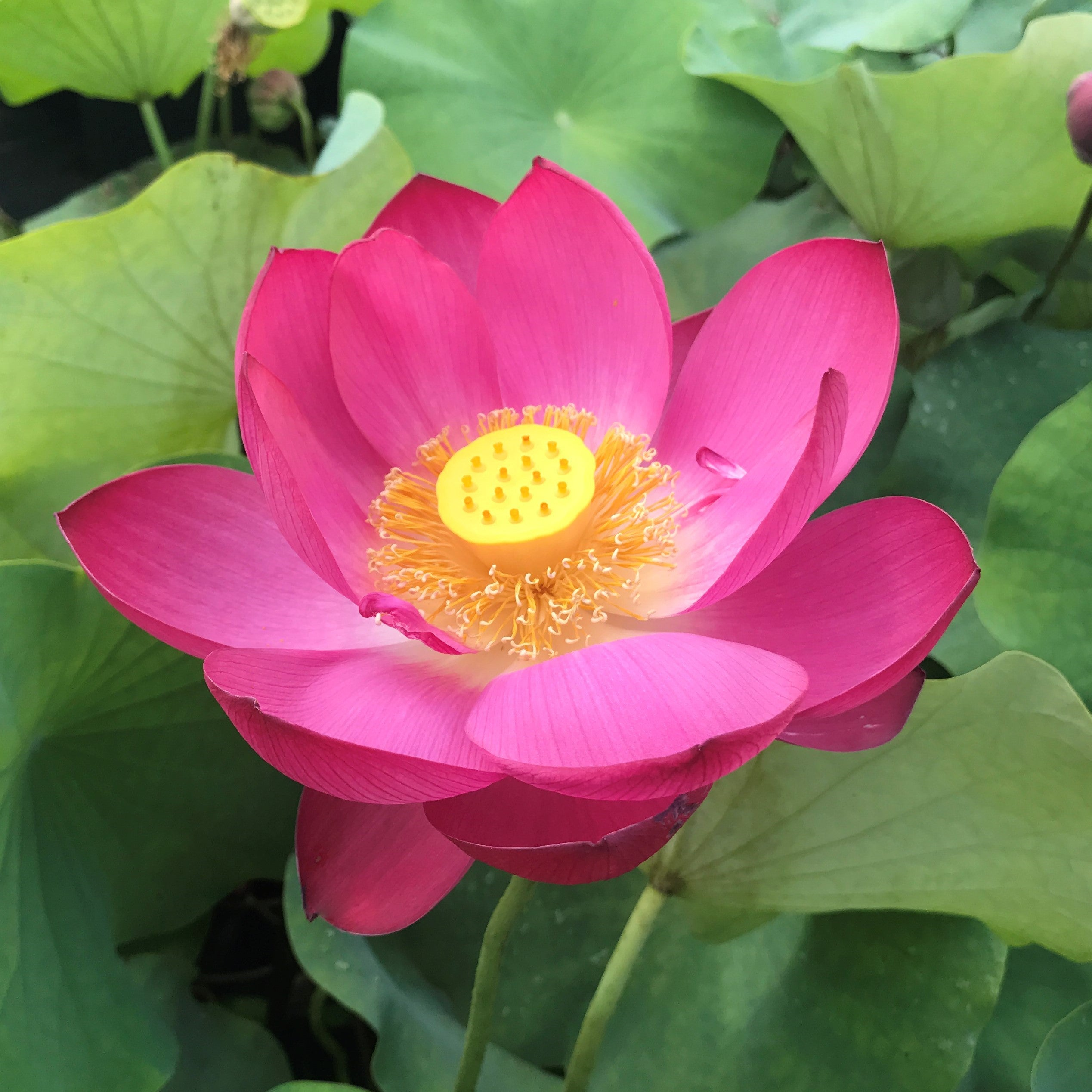 Sacred Lotus Flowers American Yellow Lotus Buy Water