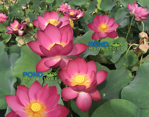 Magnificent Lotus (Gui Li)  <br>  Tall  <br>  Brilliant Red <BR>RESERVE SACRED LOTUS in TODAY for spring 2021!          LP521