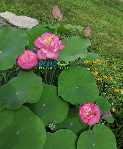 Mangkala Pathum Lotus <br>  Bowl-Dwarf  <br> TOP 10 Special Lotus <Br> Heavy Bloomer, Very small plant! <BR> Reserve Now for Spring 2020 Delivery!